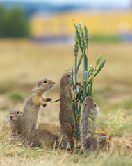Family of Ground Squirrels