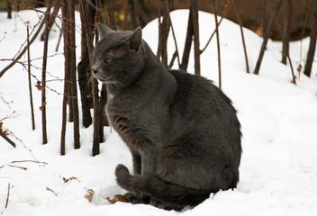Grey fat cat.