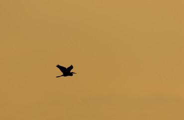 Egret Flying in Silhouette