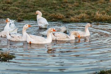 Белые гуси купаются в луже