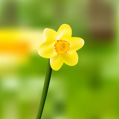 Single yellow daffodil-narcissus blooming vector illustration