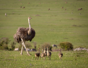 A mother ostrich with her brood of chicks walks across the vast landscape of Kenya's Masai Mara National Park