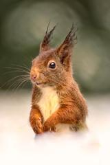 Acrylic Prints Squirrel Squirrel in the Snow