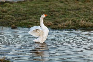 Белый гусь машет крыльями