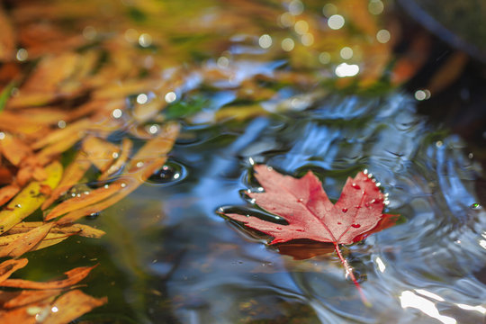 Maple leaf on water with other leaves.