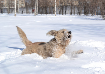 Cute shaggy brown dog playing in the snow on urban background