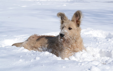 Cute shaggy brown dog with big ears playing in the snow