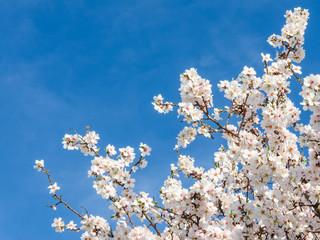 Springtime bloom of apricot tree against blue sky