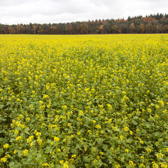 square picture of blossoming yellow mustard seed on field near f