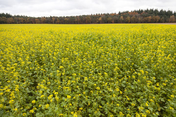blossoming yellow mustard seed on field near forest in autumn co