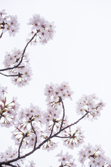 Cherry blossom, white background