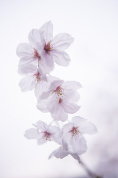 Single cherry blossom branch, white background