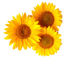 Bouquet of sunflowers flowers red and yellow isolated on white