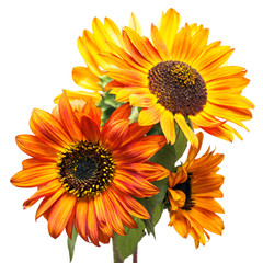 Fototapete - Bouquet of sunflowers flowers red and yellow isolated on white