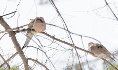 Sleepy Mourning Turtle Doves (Zenaida macroura) resting on a tree branch in morning stillness.  Luminescent  sunlight.