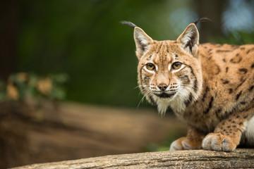 Acrylic Prints Lynx Eurasian Lynx (Lynx lynx)