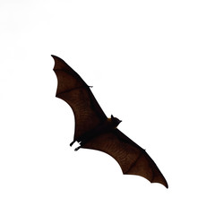 flying fox - huge bat isolated on white background