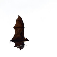 flying fox - huge bat isolated on white background