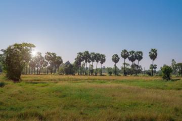 Sugar palm tree with blue sky in prachinburi thailand