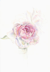 Colored pencils drawing of delicate pink rose on white background