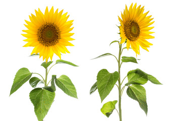 Sunflower isolated on white background natural color