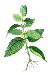 Nettle herb, Nettle herb medicinal and food plants  on a white background