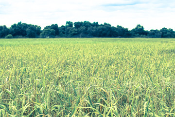 rice in the field with cold tone