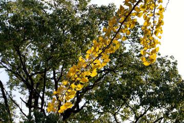 銀杏の枝葉