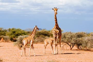 Giraffe mit säugendem Jungtier, Mount Etjo, Namibia