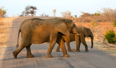 Elephants crossing a road in South Africa's Kruger National Park