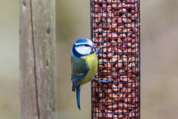Blue tit that sits on a bird feeder in the garden