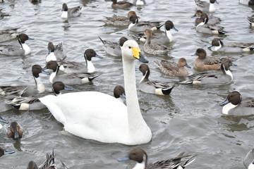 カモの中の白鳥