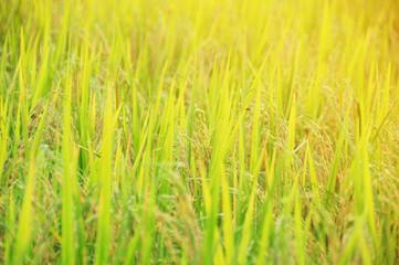 Rice field at sunlight