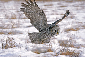 Great Grey Owl  ( Strix nebulosa )flying low over meadow in winter, hunting
