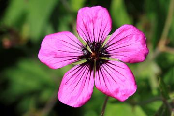 Dark purple-violet Geranium psilostemon flower