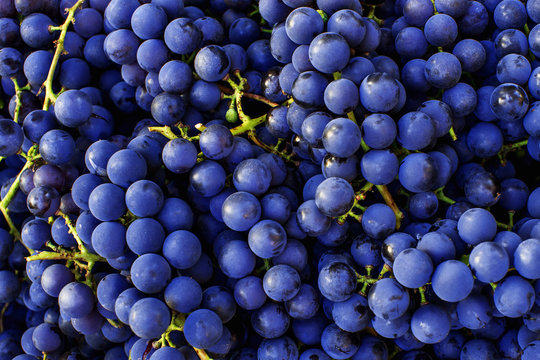 Red wine grapes background. Dark blue wine grapes.