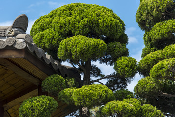 Asian Landscape - wooden House and green Pine Tree in a summer Gurden