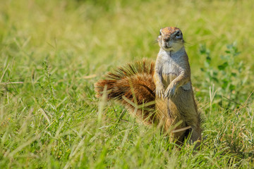 African squirrel standing in the grass during a safari in South Africa.