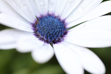 white daisy with water
