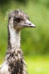 Vogelstrauß oder Emu