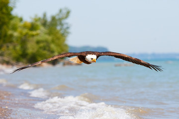 Bald Eagle in flight at Lake Erie