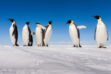 A gang of Emperor penguins cheering on ice