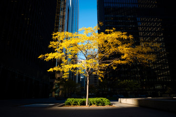 Toronto, Canada - Fall scene in the city, alone tree on a urban