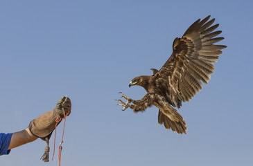 Greater Spotted eagle flying in a desert near Dubai