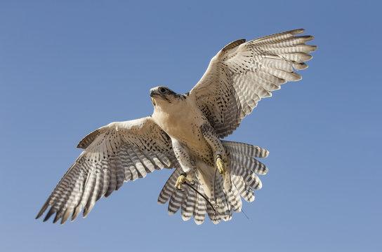 Peregrine Falcon flying in a desert near Dubai