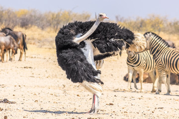 wild ostrich dancing in Namibian savannah of Etosha NP in Namibia, Africa