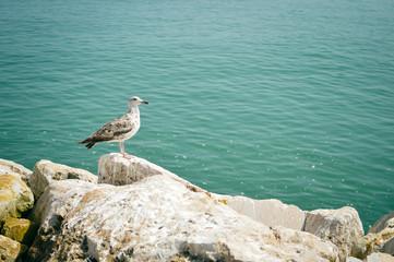 Seagull on rocks, sea ocean coast background