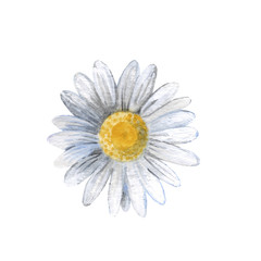 Chamomile flower isolated on a white background, watercolor