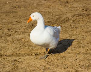 Nature goose