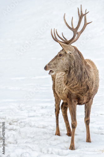 male deer portrait while looking at you on snow background